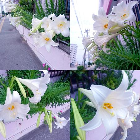 lily20200423.jpg