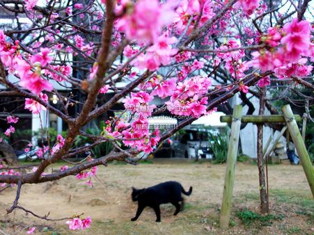 sakura20200223makishi00917.jpg