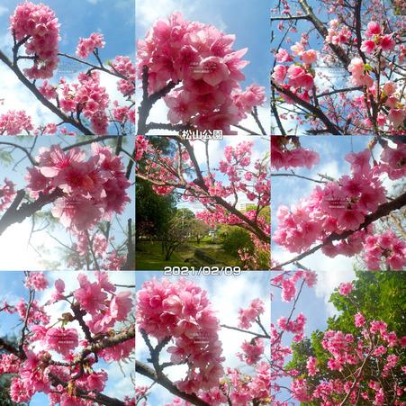 sakura20210209matsuyama.jpg