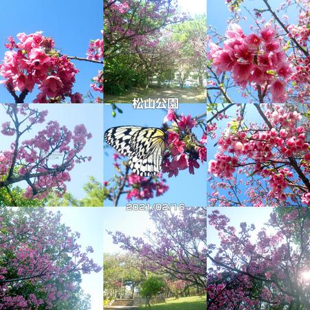 sakura20210216matsuyama.jpg