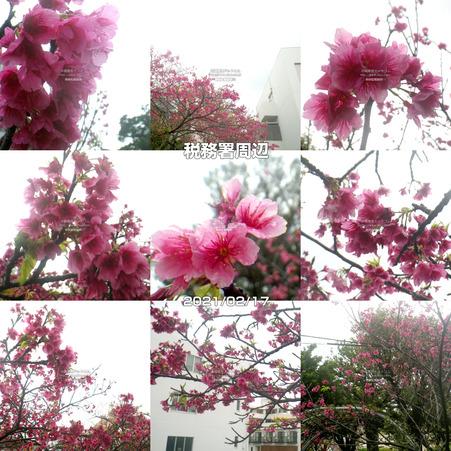 sakura20210217tax.jpg