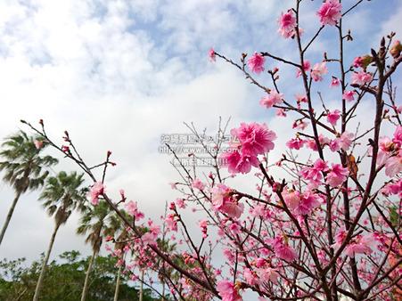 sakurayogipark20190208d.jpg