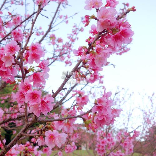 sakura20200213urasoe0716.jpg