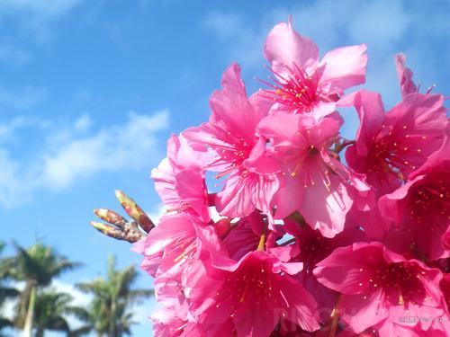 沖縄の桜まつり4選!日本一早い桜祭りイベントで桜の名所を満喫