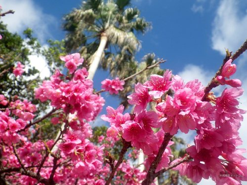 沖縄・与儀公園で花見!桜の名所で衝撃的な花の色を楽しもう!!